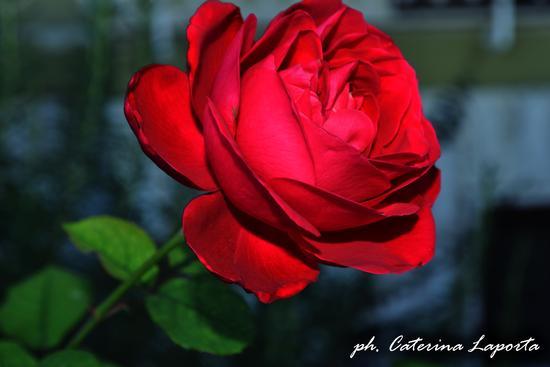 fiori trinitapoli - TRINITAPOLI - inserita il 18-Jan-13