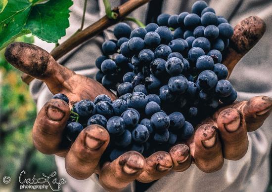uva  - San ferdinando di puglia (2096 clic)