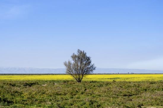 albero solitario - Trinitapoli (365 clic)