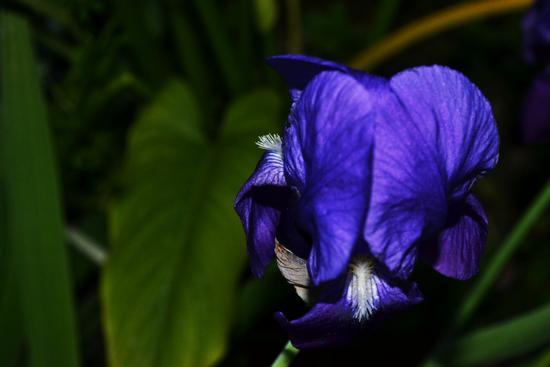 iris - Trinitapoli (700 clic)