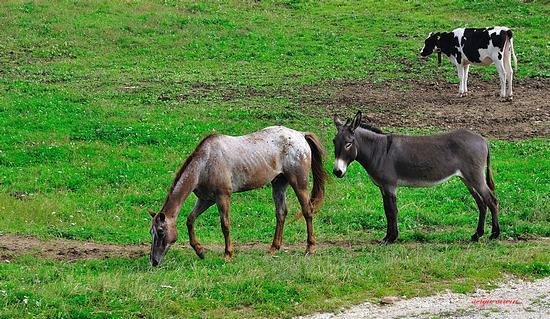 Animali al pascolo a passo Coe - Folgaria (1765 clic)