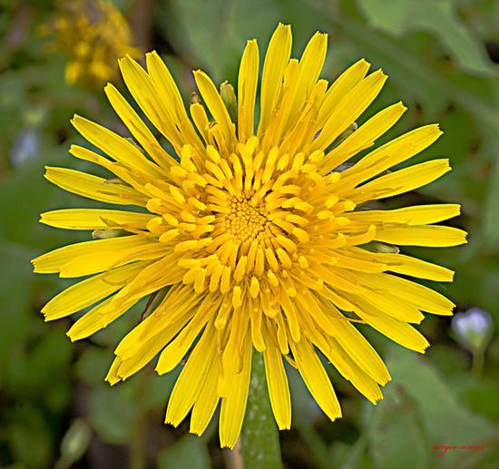 Fiore del tarassaco - Nogaredo (1621 clic)