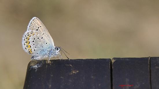 Farfalla a tavola (704 clic)