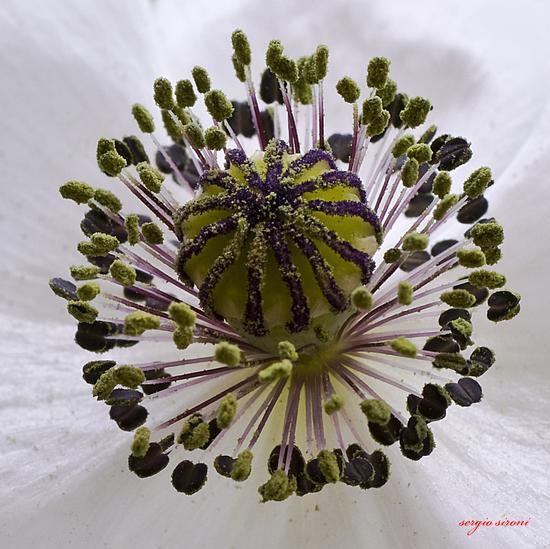 Pistilli di papavero bianco - Nogaredo (2155 clic)