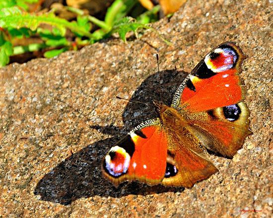 Farfalla occhio di pavone - Nogaredo (3109 clic)