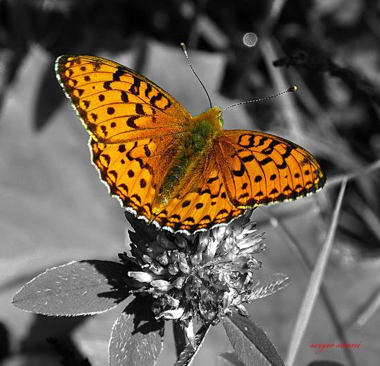 farfalla sul fiore 2 - Rovereto (3679 clic)