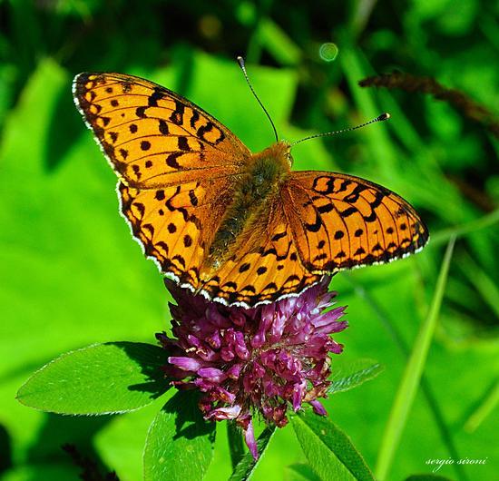 Farfalla al sole - Rovereto (2539 clic)