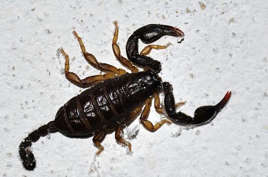 Scorpione - Garrufo (2098 clic)