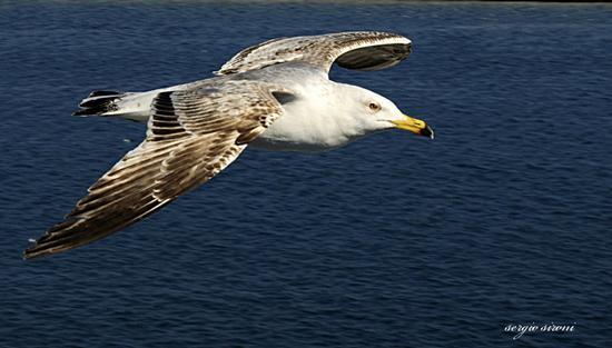 Gabbiano in volo - Isola d'elba (1988 clic)