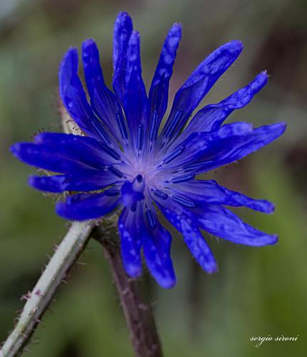 Fiore di montagna - San sigismondo (2191 clic)