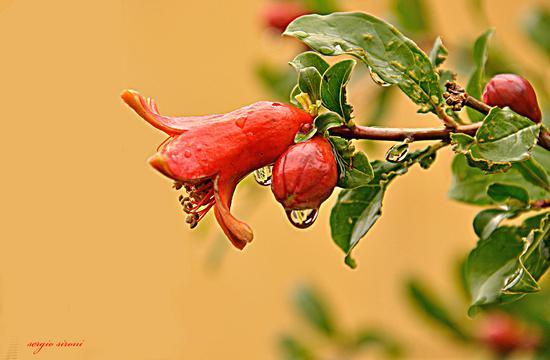 Fiore di melograno dopo la pioggia - Nogaredo (2138 clic)
