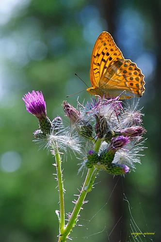 Farfalla - San sigismondo (2693 clic)