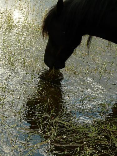 Cavallini di Gesturi - Barumini (1400 clic)