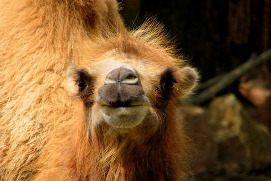 Camelus bactrianus - BUSSOLENGO - inserita il 17-May-12
