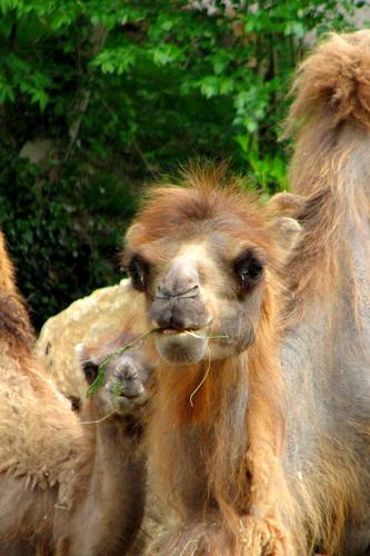 Camelus bactrianus - Bussolengo (1313 clic)