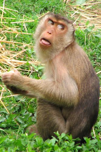Macaca nemestrina - BUSSOLENGO - inserita il 17-May-12