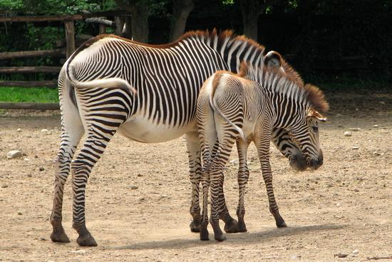 Equus grevyi - Bussolengo (1369 clic)