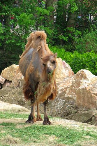 Camelus bactrianus - BUSSOLENGO - inserita il 09-May-12
