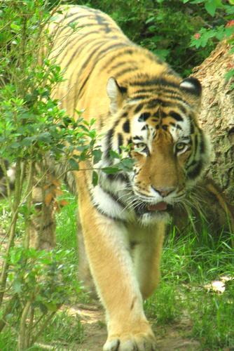 Panthera tigris altaica - Bussolengo (1169 clic)