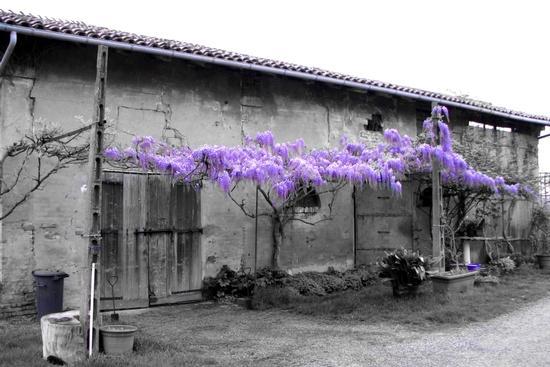 Wisteria sinensis - Budrio (1225 clic)