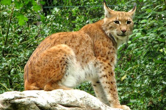Lynx lynx - Bussolengo (1503 clic)