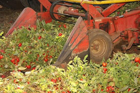 Raccolta meccanica di pomodori - Borgo sabotino (1005 clic)