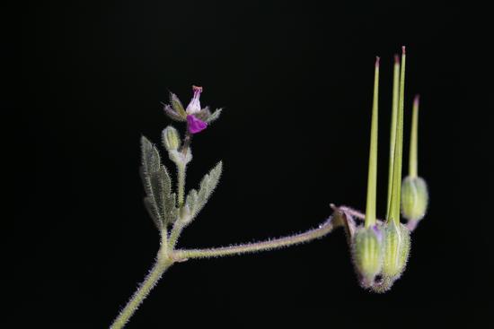 Fiore di campo - Numana (1237 clic)