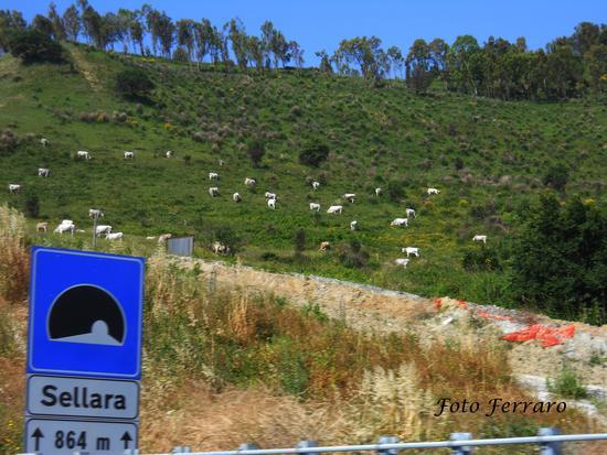 Mucche al pascolo  - Marcellinara (1505 clic)