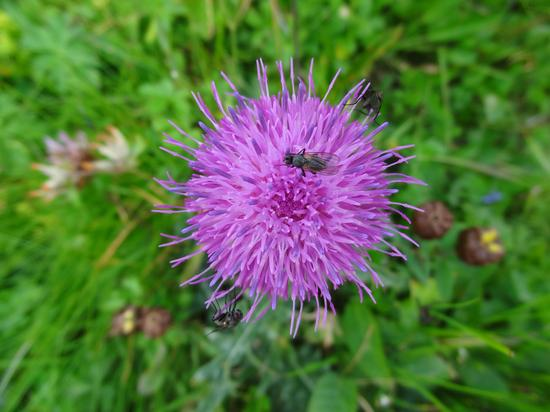 fiori di montagna - Soraga (3225 clic)