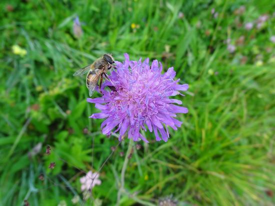 fiori di montagna - Soraga (1317 clic)