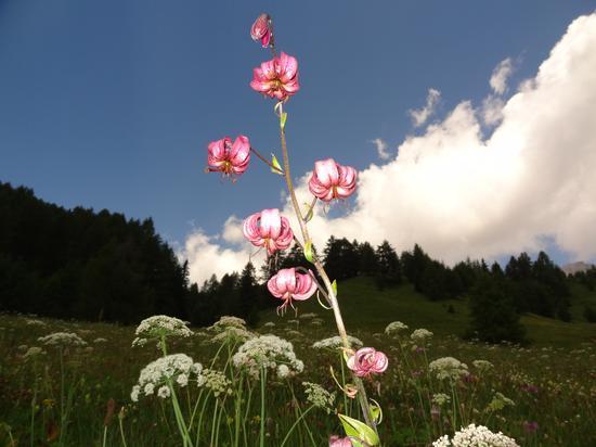 fiori di montagna - Soraga (2791 clic)