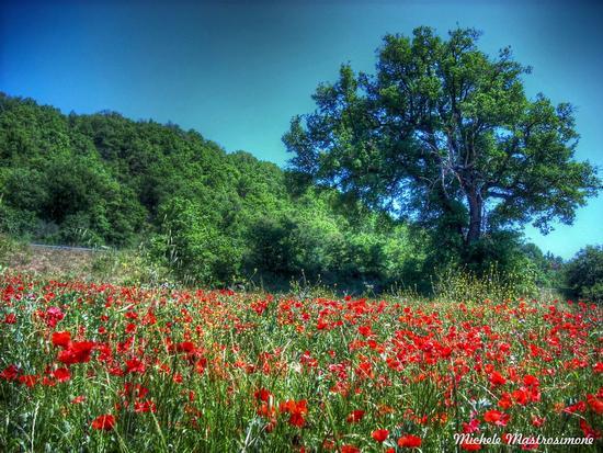 Campo di papaveri - Paduli (2244 clic)
