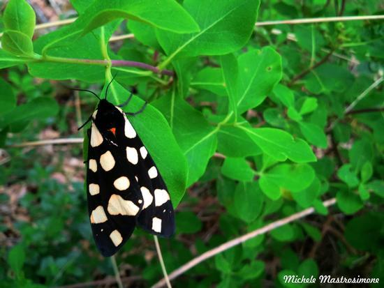 Farfalla - Paduli (1446 clic)