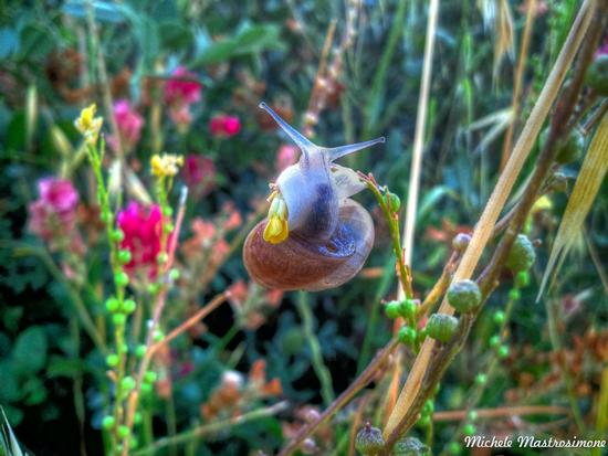Lumaca sul fiore - Paduli (1313 clic)