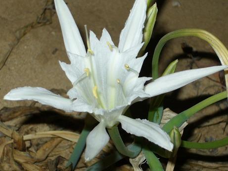 Giglio marino-fiore tipico della riviera Ragusana (5351 clic)