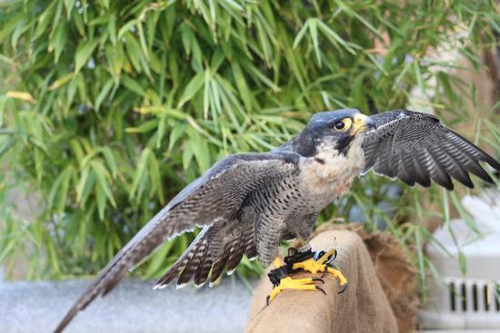 Falco Pellegrino - Cascina (856 clic)