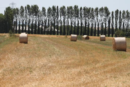 Campi di grano. - Calcinaia (1137 clic)