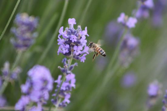 Fiori con ape - CASCINA - inserita il 08-Aug-12