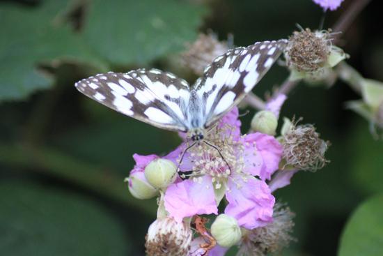 Farfalla sul Monte Serra (875 clic)