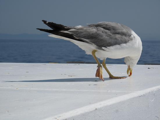 Gabbiano intento a mangiare - Giglio porto (1023 clic)