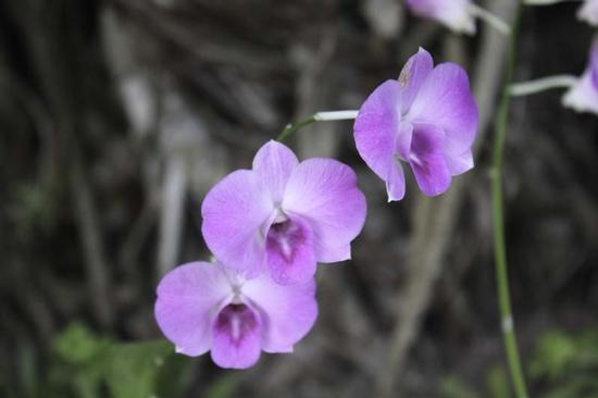 Orchidea  (407 clic)