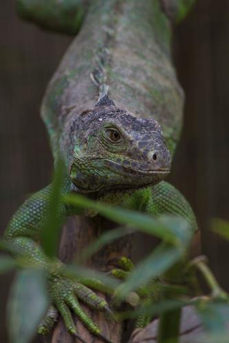 Iguana - Sant'alessio con vialone (1087 clic)