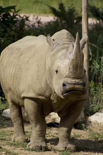Rinoceronte - Bussolengo (1185 clic)