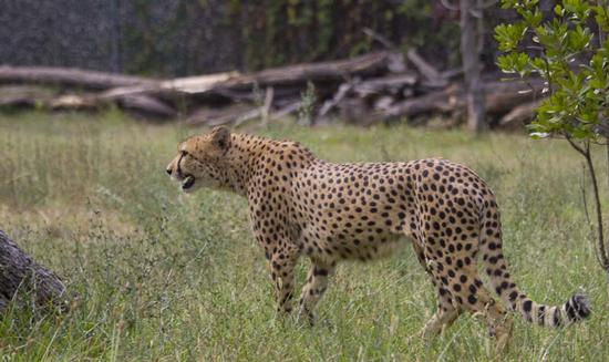 Leopardo - Bussolengo (1286 clic)