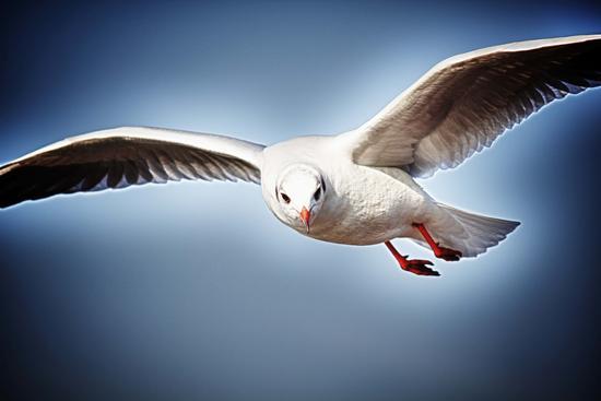 Gabbiano in volo - Malcesine (1254 clic)