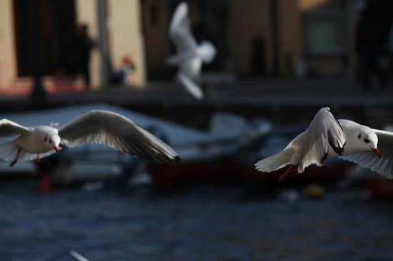 Gabbiani in volo - Malcesine (1291 clic)