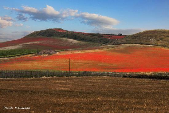 Ultima fioritura prima dell' estate - Serradifalco (636 clic)