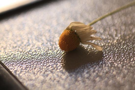 Come un fiore appassito - Caltanissetta (2581 clic)