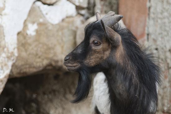 Sguardo di capra - San cataldo (935 clic)