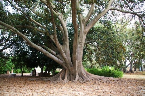 Ficus Magnolioides - Donnafugata (1556 clic)